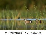 A Pair Of Blue Winged Teal...