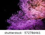 Cherry Blossom In Night Light