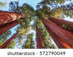 Giant Sequoias Forest In...