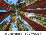 Redwood Tree in Sequoia National Park, California. - stock photo