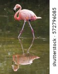 Small photo of American Flamingo (Phoenicopterus ruber) reflected.