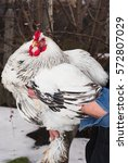 Small photo of Light Brahma rooster in the village