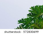 leaves with white background | Shutterstock . vector #572830699