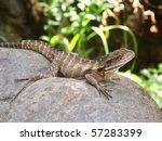 australian water dragon ...   Shutterstock . vector #57283399