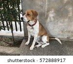 dog sitting on floor  beagle | Shutterstock . vector #572888917