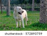 cute and adorable labrador dog  ...   Shutterstock . vector #572893759