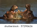Two Fighting Hippos ...
