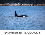 orca or killer whale swimming... | Shutterstock . vector #572909275