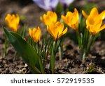 Primroses Flowering Crocus. On...
