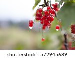 Red Currant After Rain