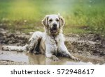 Stock photo golden retriever in puddle 572948617