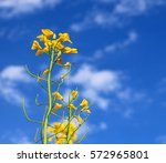 yellow oilseed rape flowers on... | Shutterstock . vector #572965801