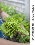 Small photo of Green-stuff, verdure gathered in woman's hands from the garden, farming, agronomy, vitamins, farm, healthy food concept, focus on lettuce, salad leaves, background is blurred