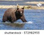 Close up of an Alaskan brown bear (grizzly bear) fishing for Sockeye salmon, seagulls in the background, Moraine Creek, Katmai National Park, Alaska