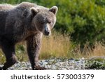 close up of an alaskan brown... | Shutterstock . vector #573003379
