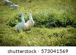 two graceful white goose...   Shutterstock . vector #573041569