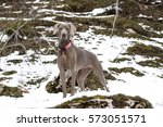 Female Adult Weimaraner On The...