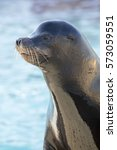Small photo of Portrait of a californian sea lion