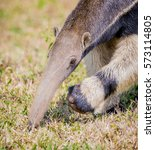 Head Of Giant Anteater Of...