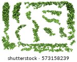 green ivy plant isolated. ivy... | Shutterstock . vector #573158239