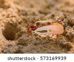 uca vocans  fiddler crab... | Shutterstock . vector #573169939