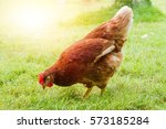 free range chickens on a lawn... | Shutterstock . vector #573185284