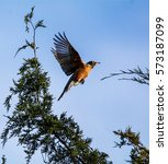 Small photo of An American Robin takes flight, after dining on Eastern Red Cedar berries, on a clear February day in North Alabama
