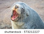 A Sea Lion Closeup Yawning