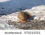 A Fox Squirrel Eating Sunflowe...