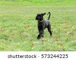 Big Black Dog Runs On A...