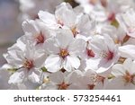 cherry blossoms blooming in... | Shutterstock . vector #573254461