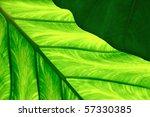 Close Up Of Colocasia Esculent...