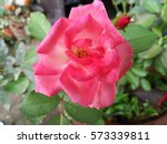 Stock photo beautiful pink rose in the garden 573339811