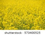 rape blossoms blooming in... | Shutterstock . vector #573400525