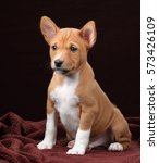 Stock photo cute puppy basenji on a brown background 573426109