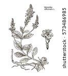 veronika officinalis. hand... | Shutterstock .eps vector #573486985