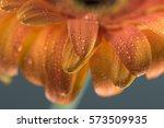 Macro Of Orange Gerbera Petals...