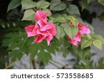 Small photo of Pink Oleander is a symbol of beguiling seduction.