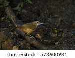 Small photo of Abbott's babbler in the nature.