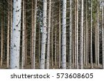Small photo of Dense spruce forest with tree trunks all over