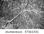 Snowy bare tree in a dense grove - stock photo