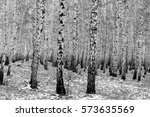 Birch Forest Background  Black...