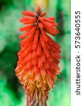 Kniphofia  Red Hot Poker  Aloe...