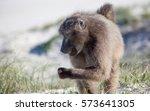 Chacma Baboons Feeding And...