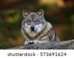gray wolf | Shutterstock . vector #573691624