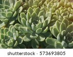 closeup of lush green succulents | Shutterstock . vector #573693805