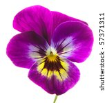 Isolated Pansy Over White...