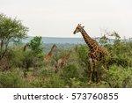 herd of giraffes feeding from... | Shutterstock . vector #573760855