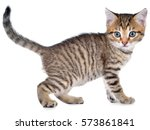 Stock photo shorthair brindled kitten goes side view isolated on a white background 573861841