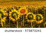 Bright Flowers Of Sunflower...